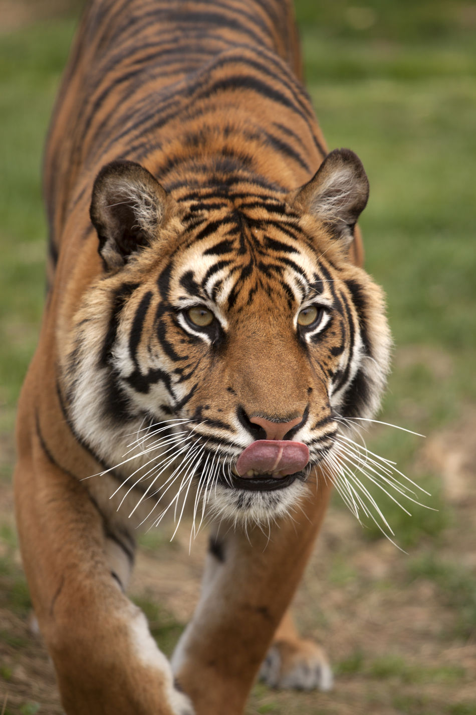 Animal Animal Themes Animal Wildlife Bengal Tigers Dinner Time Focus On Foreground Licking Lips Mammal Nature One Animal Outdoors Tiger Tongue Tongue Out Endangered Species Endangered Animals Endangered