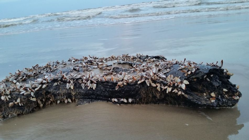 Beautiful stock photos of texas,  Barnacle,  Beach,  Beauty In Nature,  Close-Up