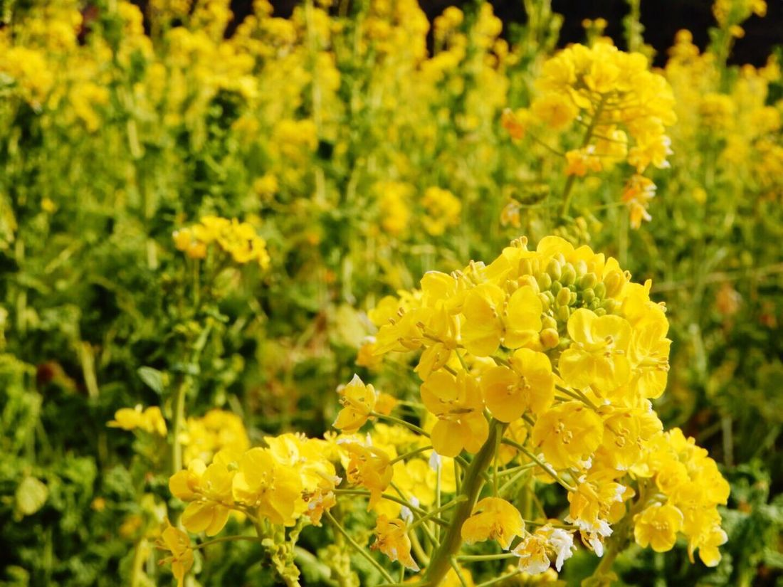 Yellow Flower Fragility Beauty In Nature Growth Nature Plant Freshness Petal Blooming No People Flower Head Outdoors Day Close-up Oilseed Rape