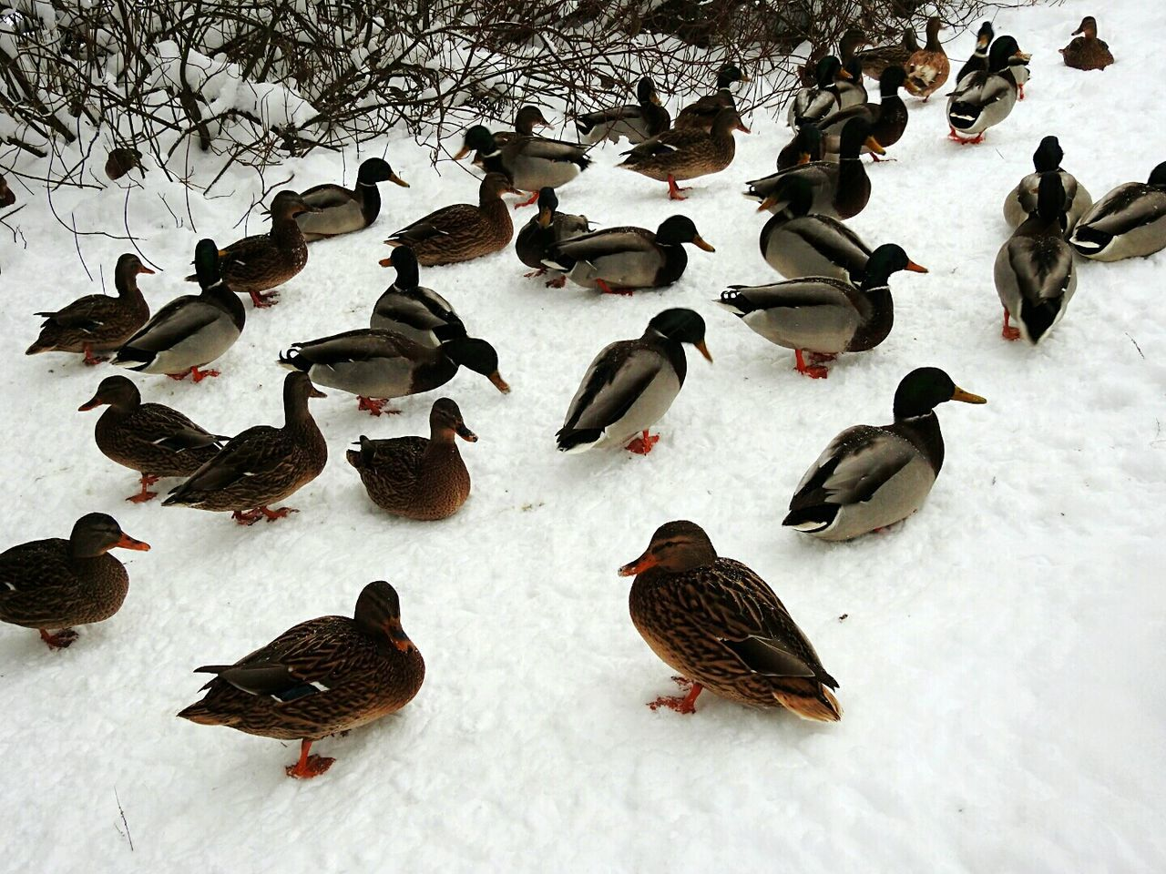 Ducks On Snow Large Group Of Animals Bird No People Day Park Elagin Island Winter Snow❄⛄ Colors Of Sankt-Peterburg Sankt-Petersburg Russia Exploring Style