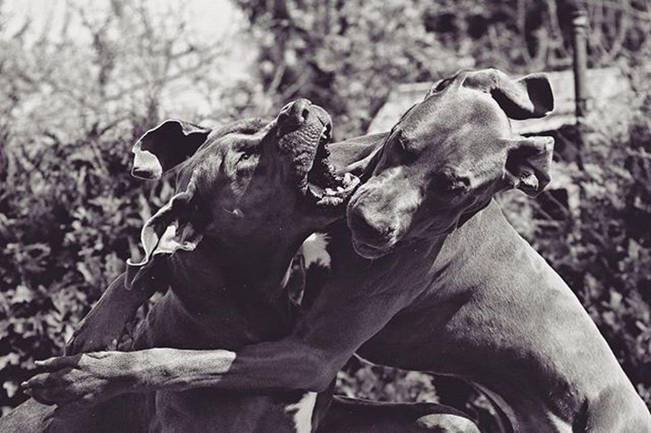 2 schöne deutsche Doggen am rumtoben 😍 Outdoor_shooting Outdoorshooting Deutsche_dogge Deutschedogge Dogge Deutsch Hund Dog Hunde Dogs Dogsofinstagram Dogstagram Instahund Instadog Instadogs Hundeshooting Hundeliebe