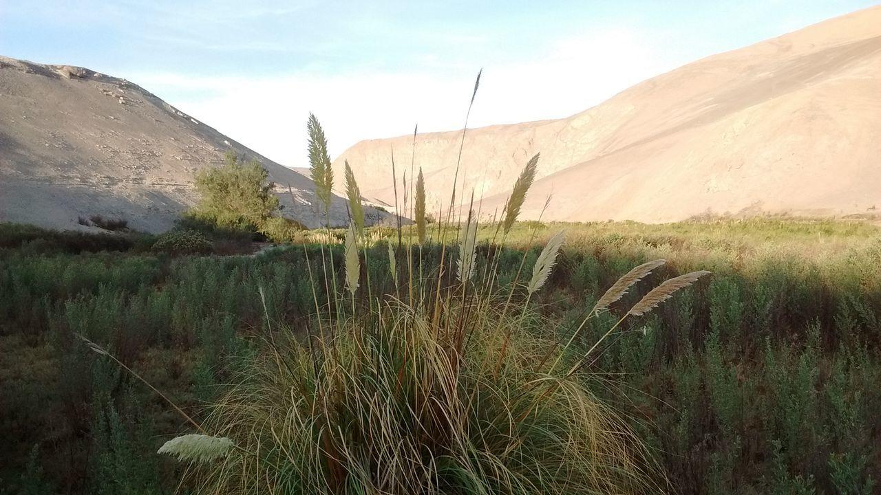 Tana Quebrada De TanaChile Atacama Desert Nature Beauty In Nature Desierto Desierto De Atacama Cortaderia Selloana Cortaderia