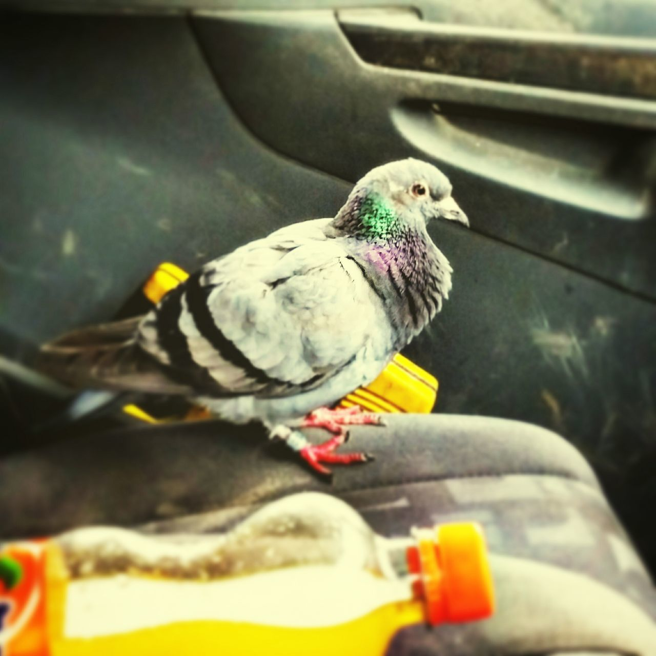 Pegion Racing Pigeons Birds Rest & Relax Along For The Ride Animals