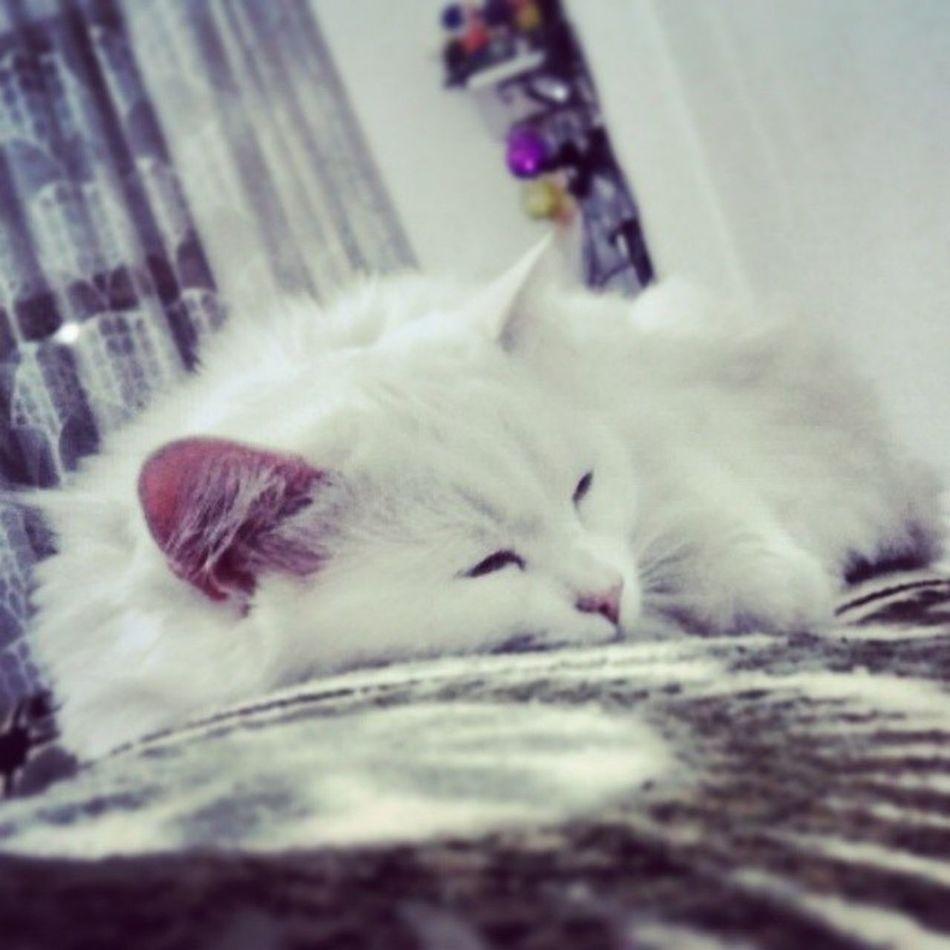 Caniçimaya Maya Mayukhan Canici Cat kedi pati uyku sleeping miskin