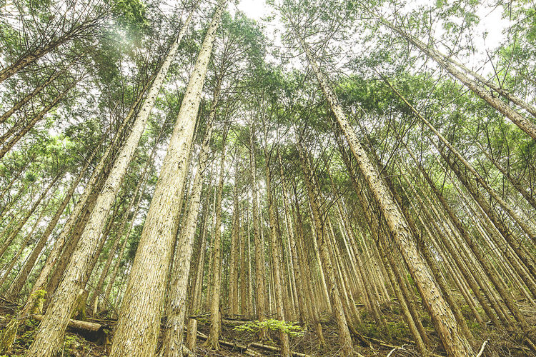 Pine trees in the woods of Yoshino, Japan Bamboo - Plant Bamboo Grove Beauty In Nature Day Forest Green Color Growth Low Angle View Nature No People Outdoors Pine Pine Trees Scenics Sky Tranquil Scene Tranquility Tree Tree Trunk