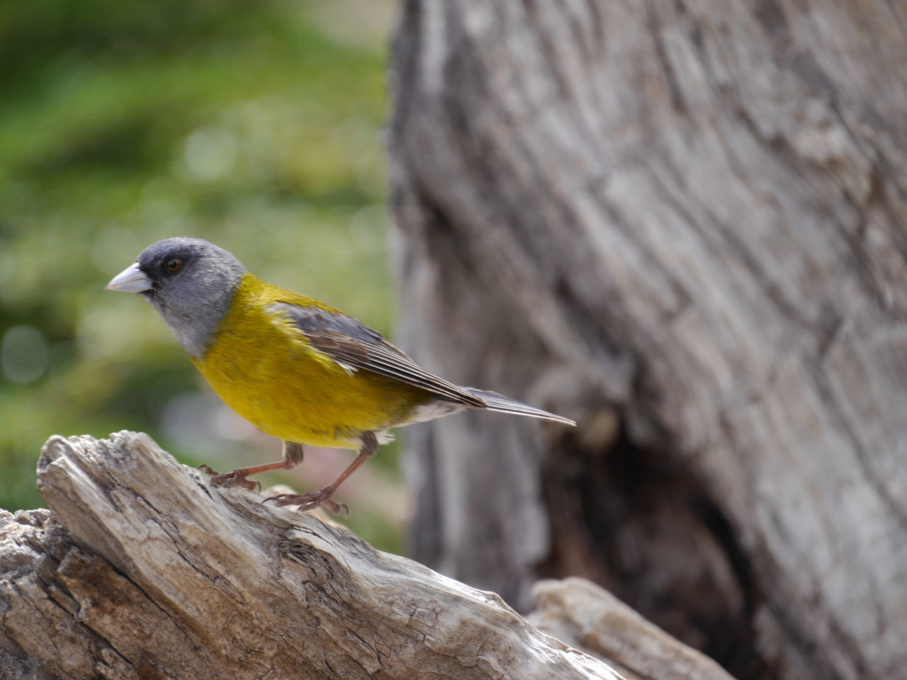 Little bird in el Chalten Animal Photography Animals In The Wild Bird Bird On A Trunk Birdy Closeup El Chalten Fauna Of Patagonia Outdoors Patagonia Nature Yellow Bird