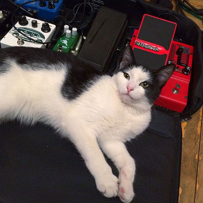 Cat Pedalboard Guitar котя Котейка лапуля Питер дома Sweet Guitarpedals