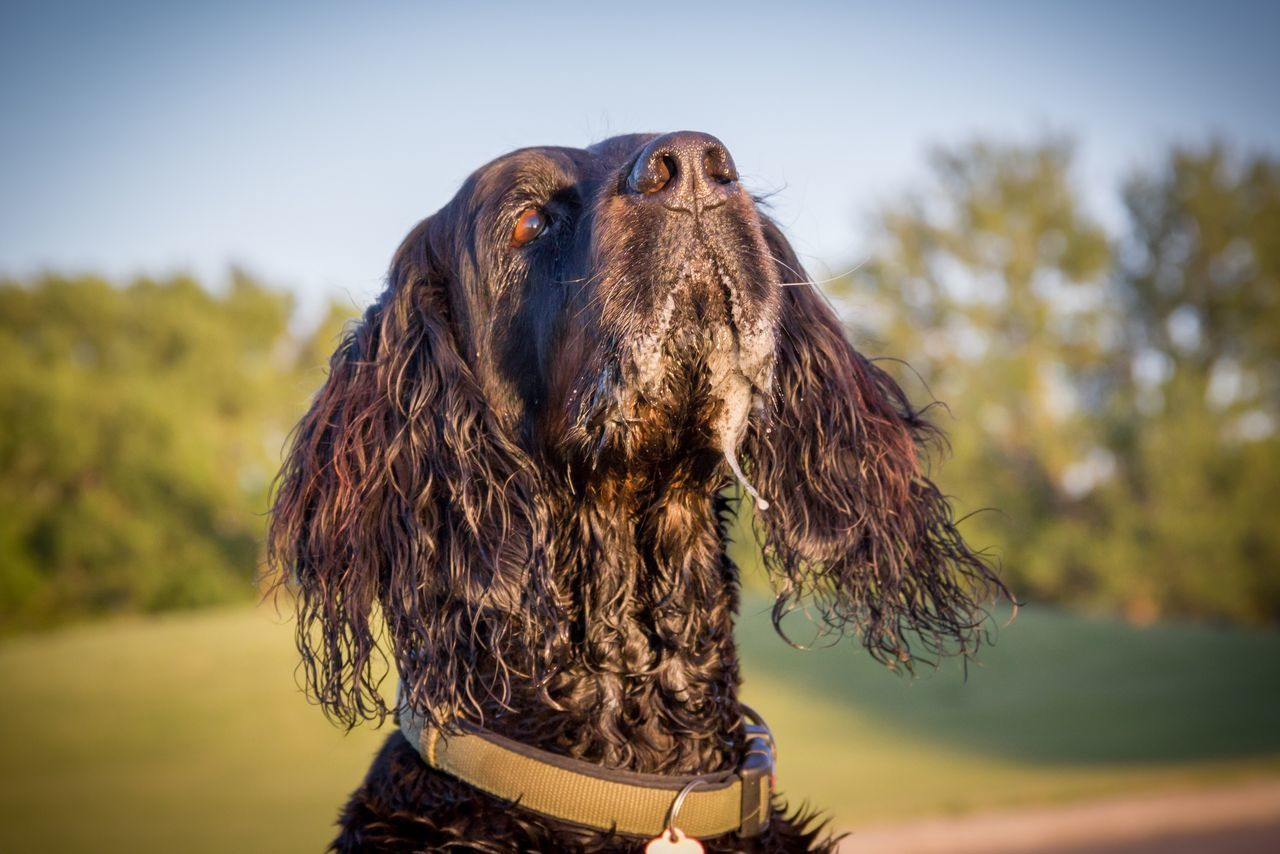 Slobber art part 2, waiting for a flying treat 😂 Focus On Foreground One Animal Mammal Animal Themes Outdoors Day Domestic Animals Close-up Nature Portrait No People Sky Ladyphotographerofthemonth Drooling Slobbermouth Gordon Setter Setter Setterlove Slobbery Kisses Slobber Dog Pets
