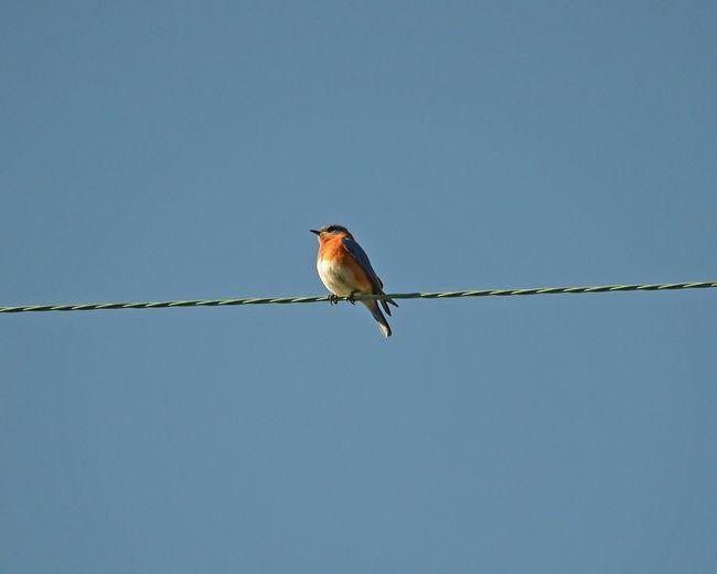 Urban Birds Bird Bluebird EyeEm Birds