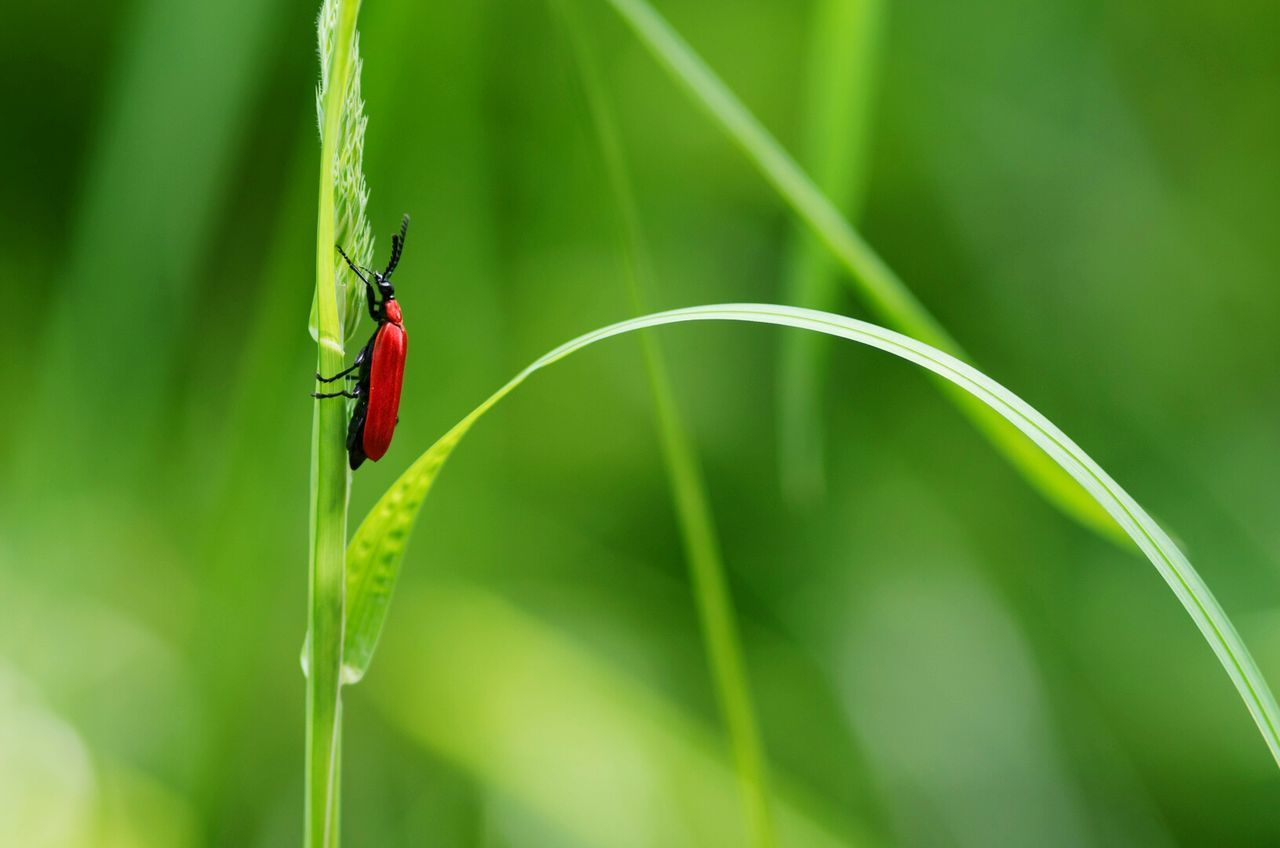 Red on green / Insect Wildlife Close-up Green Color Plant Beauty In Nature Focus On Foreground Blade Of Grass Growth Selective Focus Nature EyeEm Best Shots Red Green Bug Grass Climbing Springtime Zoology Tiny Tiny Planet Maximum Closeness Beautifully Organized