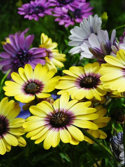 Purple and yellow flowers Flower Plant Yellow Flower Head Purple Beauty In Nature Nature No People Summer Close-up African Daisy African Daisies Daisies ♥  Purple And Yellow Flowers Purple And Yellow Garden Photography Flower Garden Flowers,Plants & Garden Flowerporn Floral Perfection Floral Photography