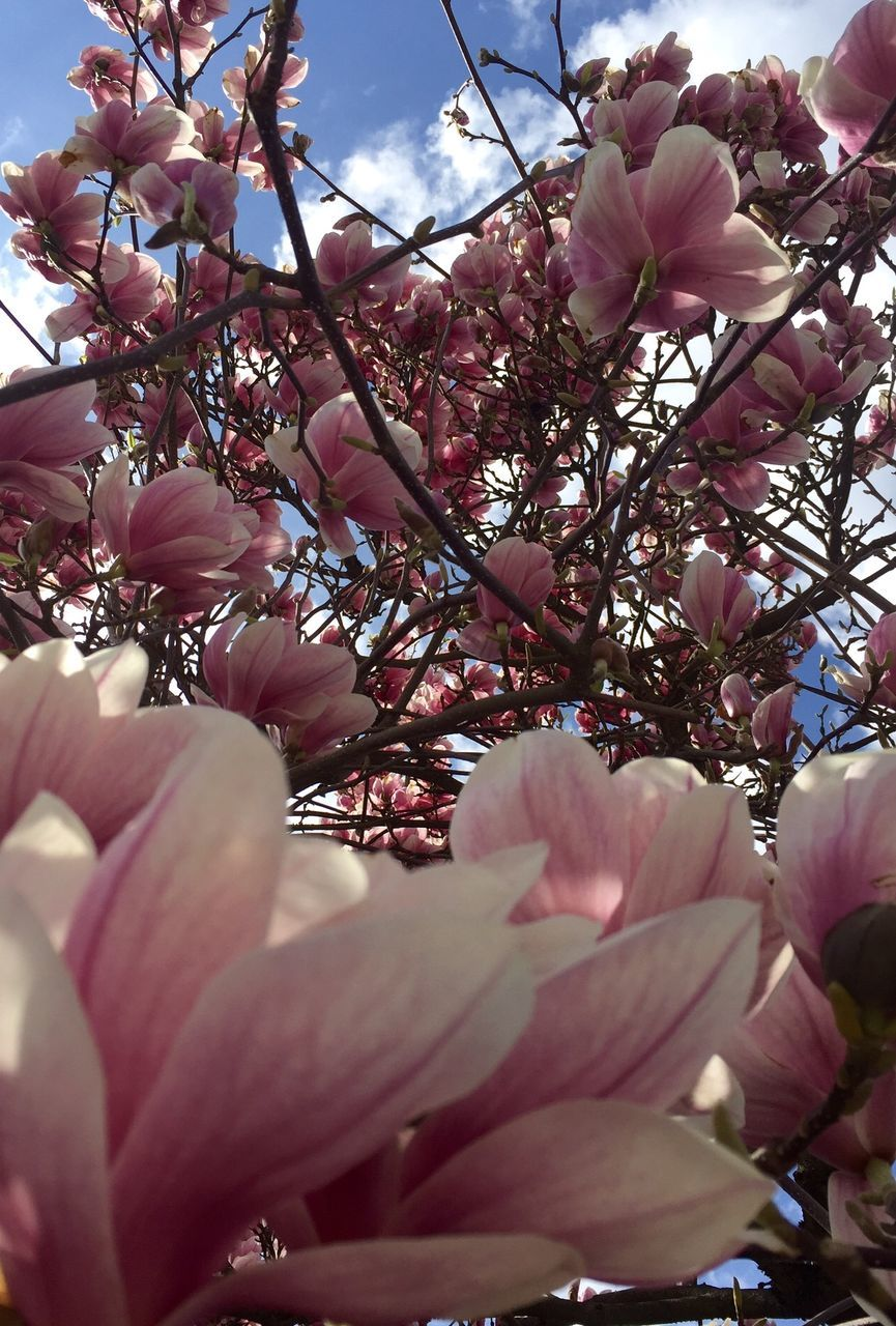flower, pink color, beauty in nature, growth, nature, blossom, fragility, branch, tree, petal, magnolia, freshness, springtime, no people, day, outdoors, low angle view, selective focus, close-up, pink, flower head, blooming, sky