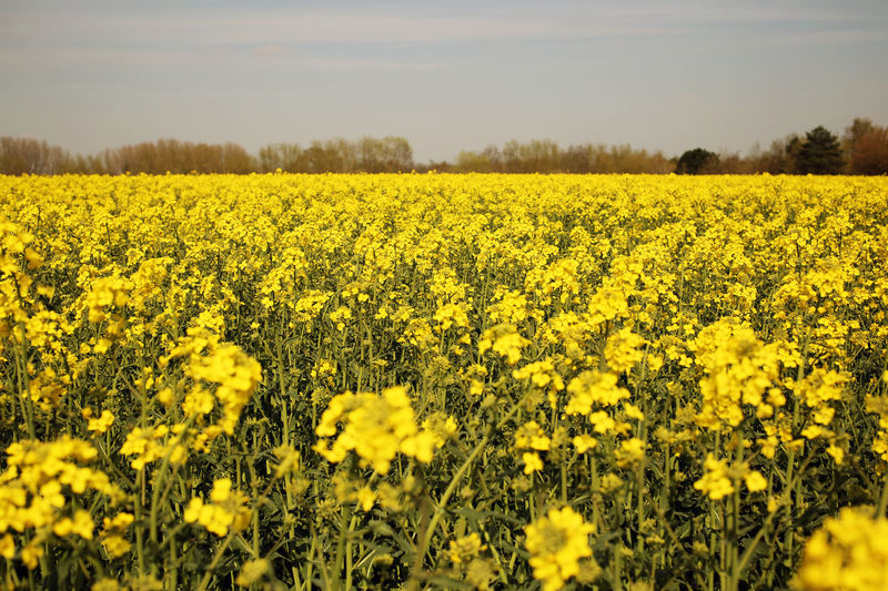"""Hayfever6"" Abundance Agriculture Aloe Beauty In Nature Cultivated Land Field Field Flower Flower Head Forever Living Freshness Growth Hayfever Landscape Nature Oilseed Rape Plant Rural Scene Tranquil Scene Tranquility Warwickshire Yellow"