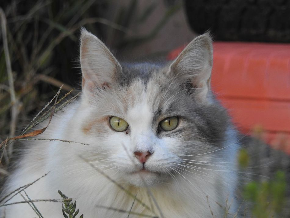 Beautiful Cat Calico Cat Cat Cat Lovers Cat Photography Cat Portrait Catlovers Dilute Calico Dilute Calico Cat Fluffy Cat Gorgeous Cat I Am Beautiful I'm Not Fat Long Haired Cat Maine Coon Maine Coon Cat Maine Coon Cats Maine Coon Mix Pet Photography  Pet Portrait Nikon P900