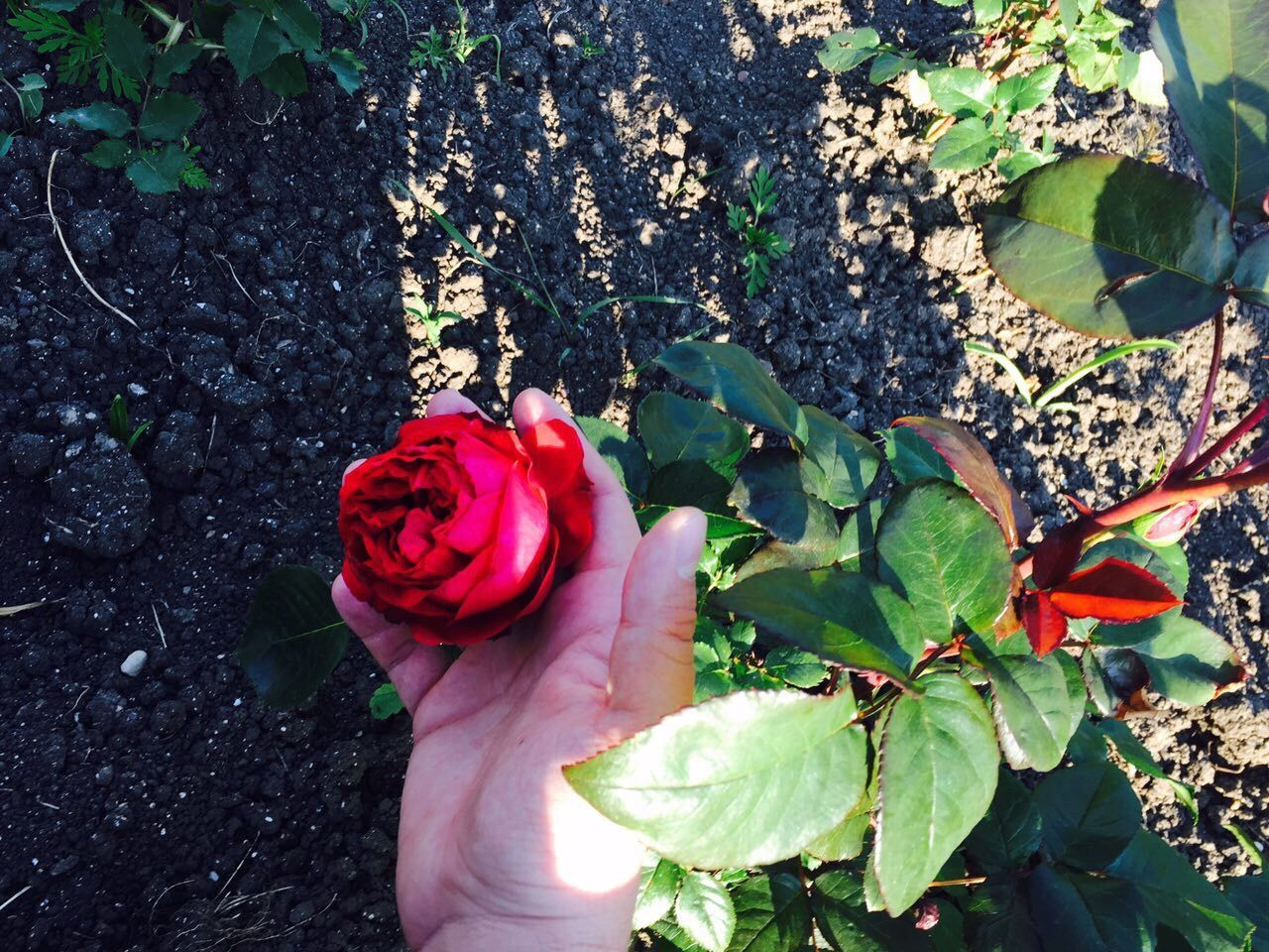 Rose - Flower Red Flower Outdoors Day Leaf Petal Beauty In Nature High Angle View Nature Plant Growth Fragility Rosé Hand Freshness One Person Real People Close-up Human Body Part Human Hand Live For The Story Place Of Heart