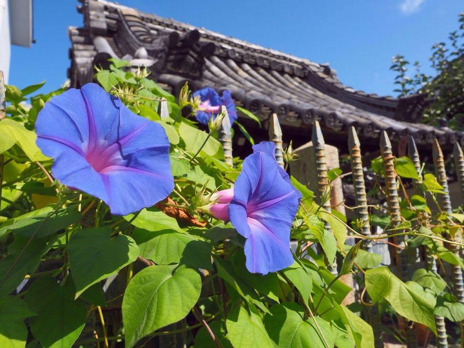 Kyoto Japan Asagao Flower Purple Morning Glory Blue Sky Temple Olympus PEN-F 京都 日本 あさがお 花 紫 青空 寺