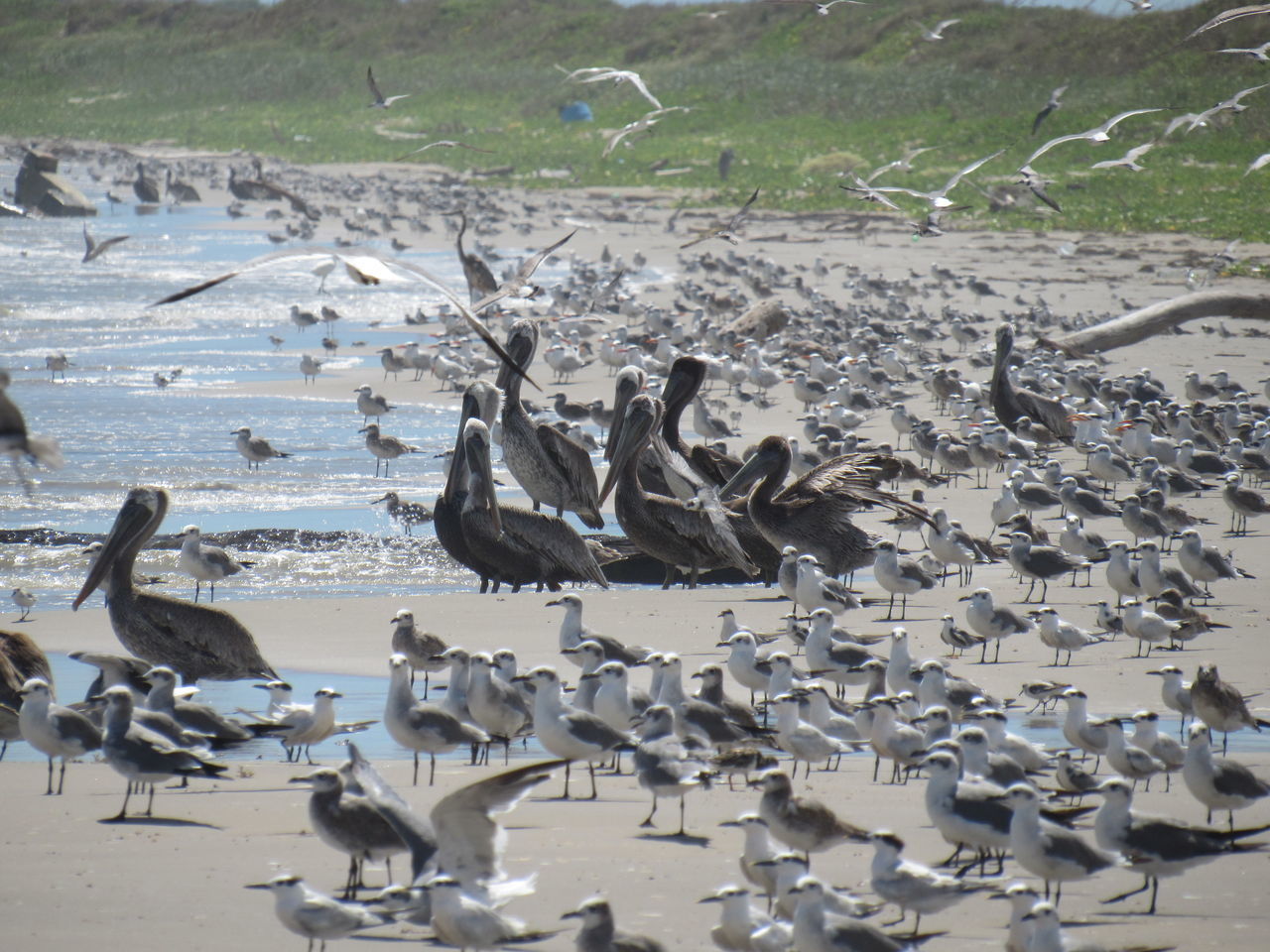 Lots of Birds Animals In The Wild Brown Pelican Coastline Cold Water Feathers Of A Bird Flock Of Birds Flying Birds Gulf Of Mexico Large And Small Large Group Of Birds Ocean View Perching And Hunting Sandy Shoreline Seagulls Seashore Standing Birds Zoology