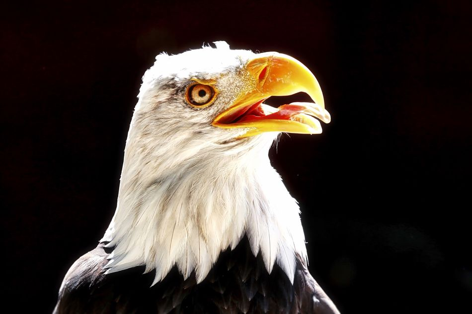 Eagle Portrait White Color Beak Bird Of Prey Bird Black Background Close-up Animal Themes Animal Head  Bald Eagle One Animal Animals In The Wild Eagle - Bird Nature Portrait No People Day Outdoors
