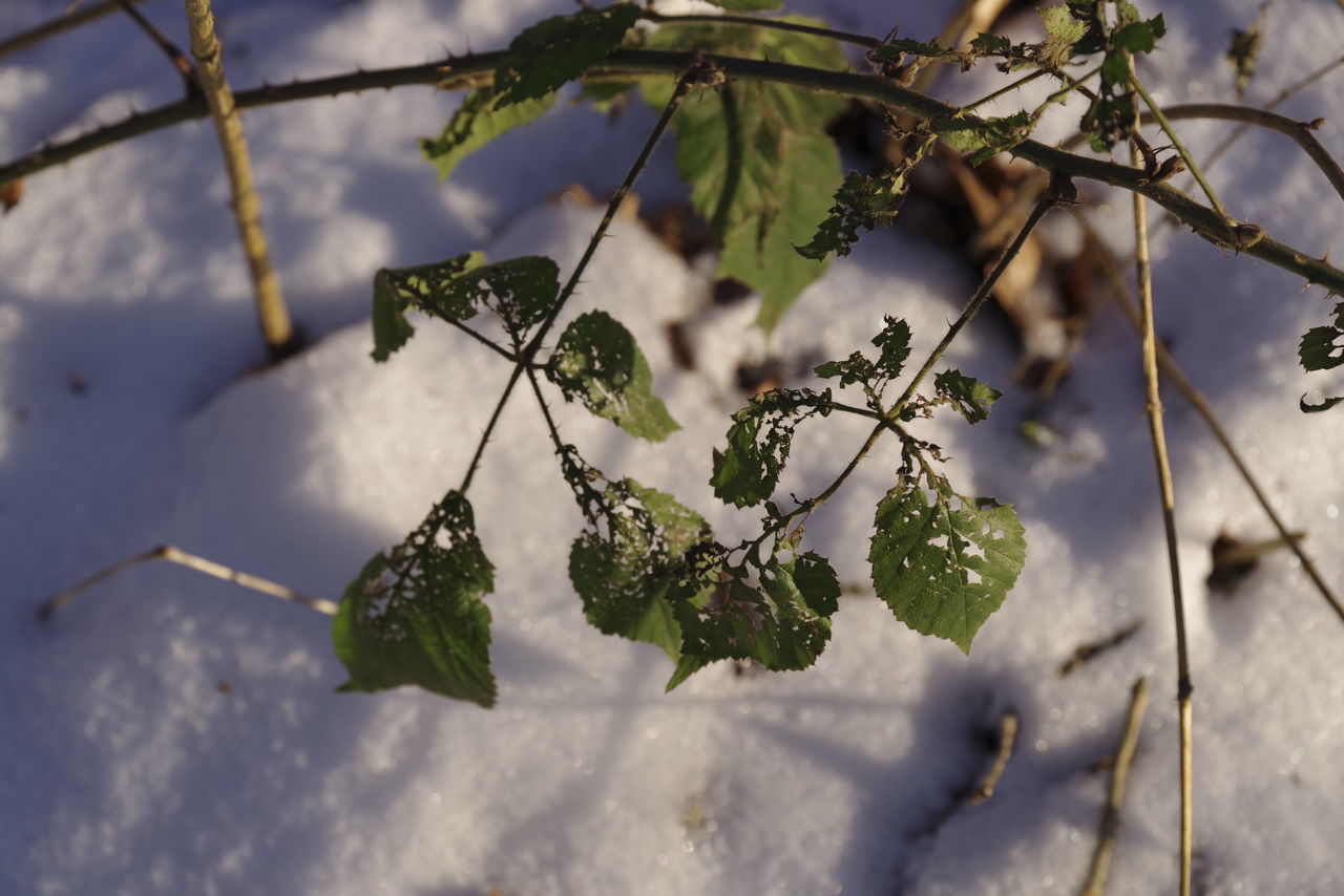 Leaves riddled with holes Beauty In Nature Branch Close-up Cold Temeperat Cold Temperature Day Growth High Angle View Nature No People Outdoors Snow Tranquility Tree Winter Winter