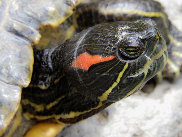 One Animal Tortoise Animal Wildlife Animal Tortoise Shell Turtle Reptile Animals In The Wild Animal Themes Close-up No People Day Nature Outdoors Nature Close-up Nature