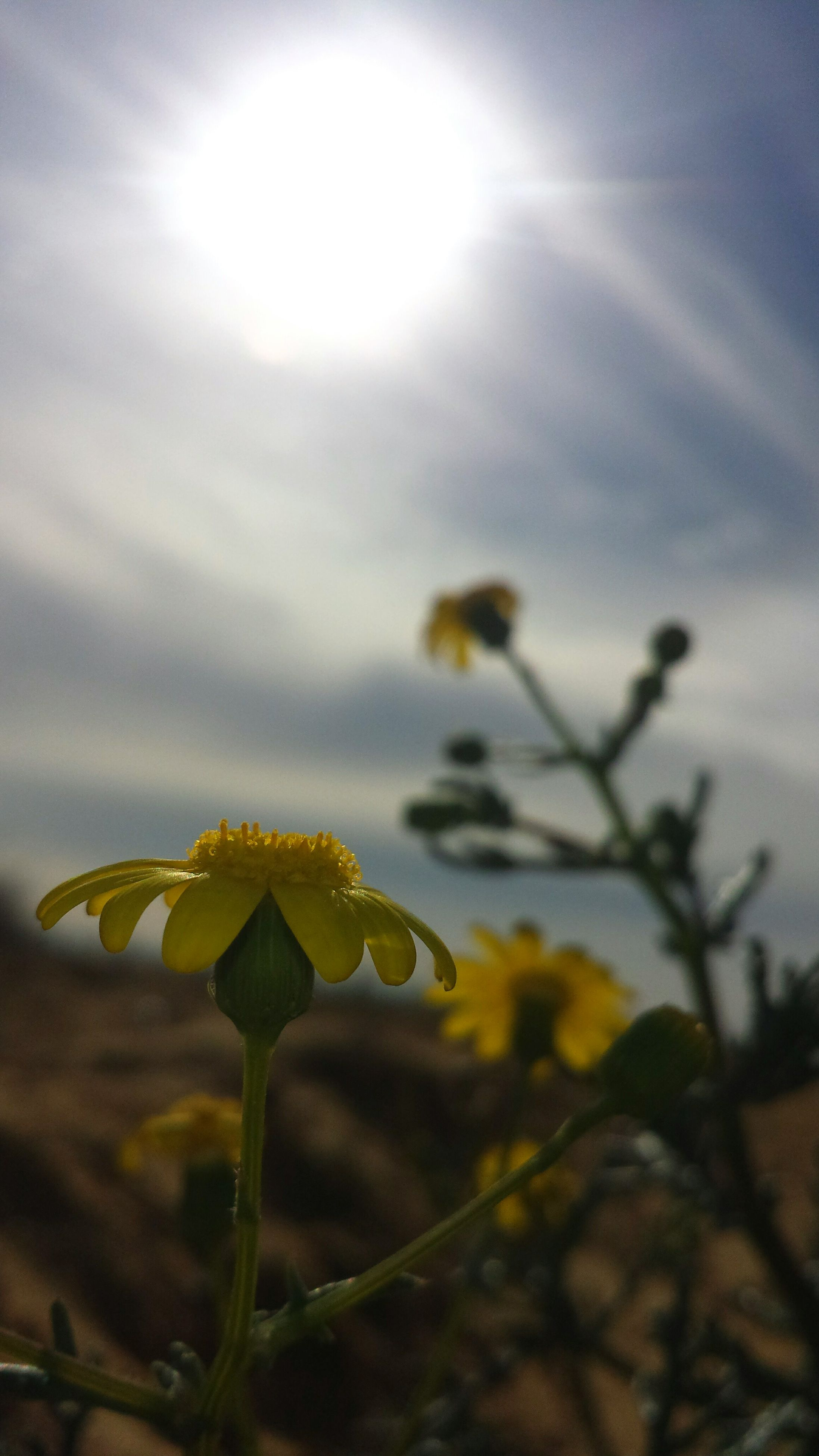 nature, growth, flower, beauty in nature, freshness, fragility, close-up, no people, sky, outdoors, plant, flower head, blooming, sunbeam, day