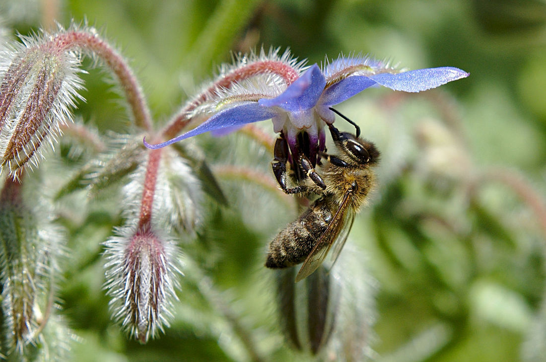 Beauty In Nature Bee And Flower Bee At Work Bee On The Flower Bee Watching Bee 🐝 Blosssom Borage Bud Close Up Day Extreme Light EyeEm Nature Lover Focus On Foreground Fragility Honneybee Nature's Diversities Nikon No People Outdoors Selective Focus Shine Through Springtime Starflower The Great Outdoors - 2016 EyeEm Awards EyeEm Diversity