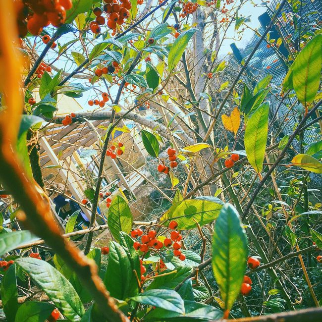 Hello World Hanging Out Tree Berries