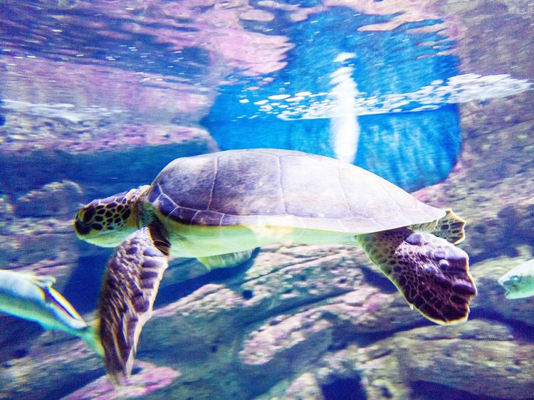 Sea Turtle No People Day Close-up Nature Outdoors Animals In The Wild Animal Themes Beach Sea Life UnderSea Turtles Swimming