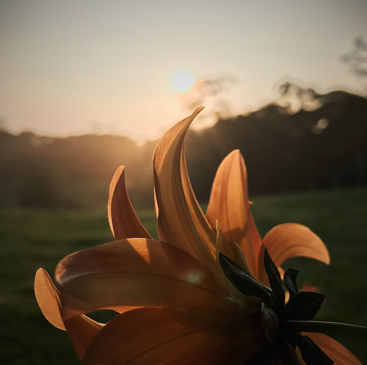 flower, nature, beauty in nature, petal, fragility, sunset, growth, outdoors, freshness, sunlight, flower head, plant, field, focus on foreground, blooming, close-up, no people, sky, day