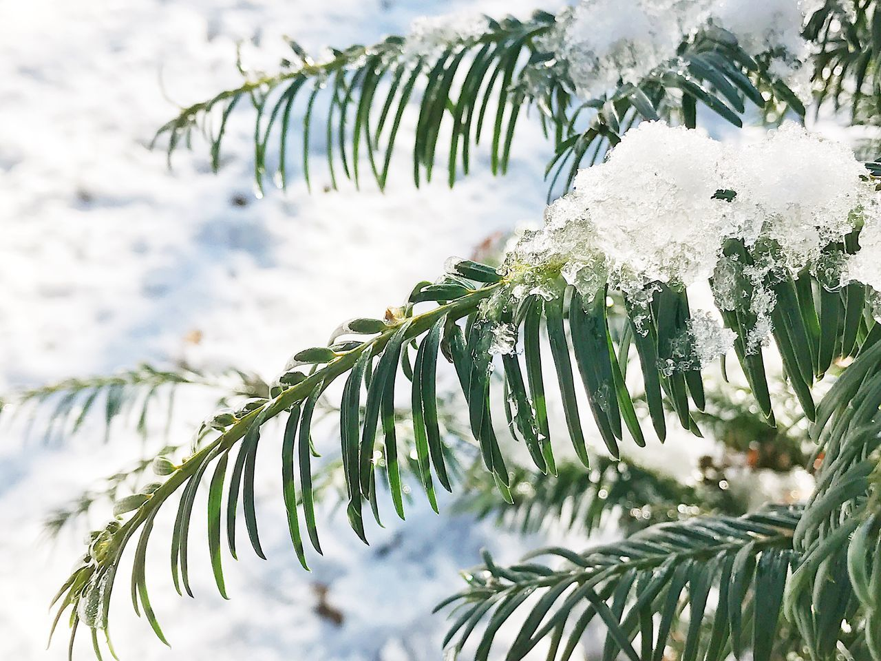 Winter Nature Snow Tree Cold Temperature Weather Beauty In Nature White Color Branch Focus On Foreground Growth Close-up No People Outdoors Leaf Twig Day Needle - Plant Part Ice