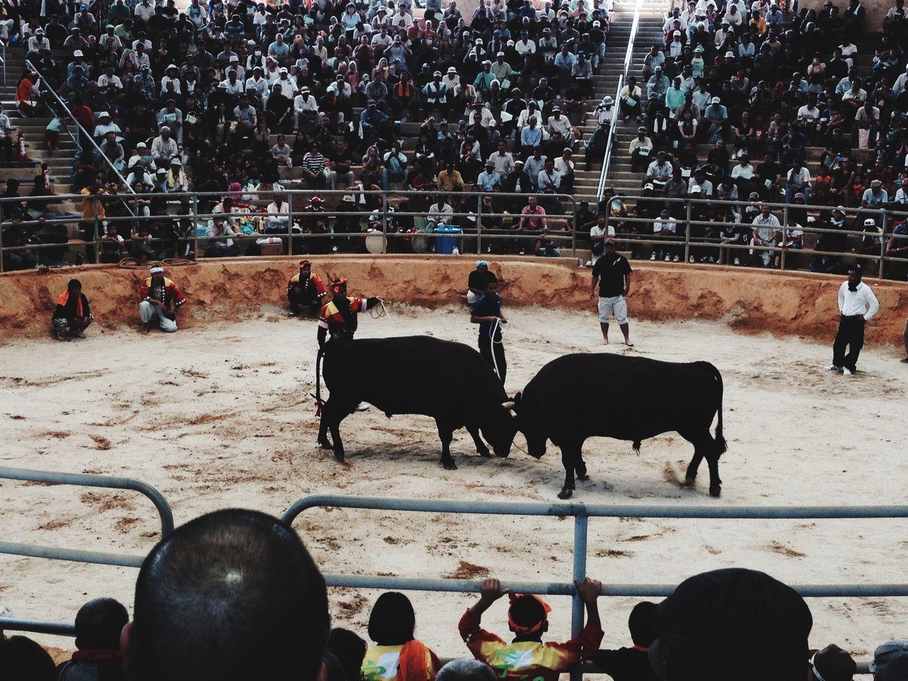 Bull fight ....