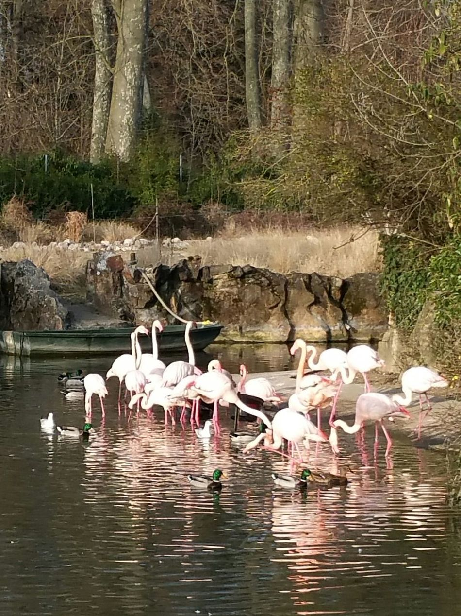 Animals In The Wild Animal Themes Water Nature Lake Large Group Of Animals Animal Wildlife Beauty In Nature Pink Flamingos Flamant Rose