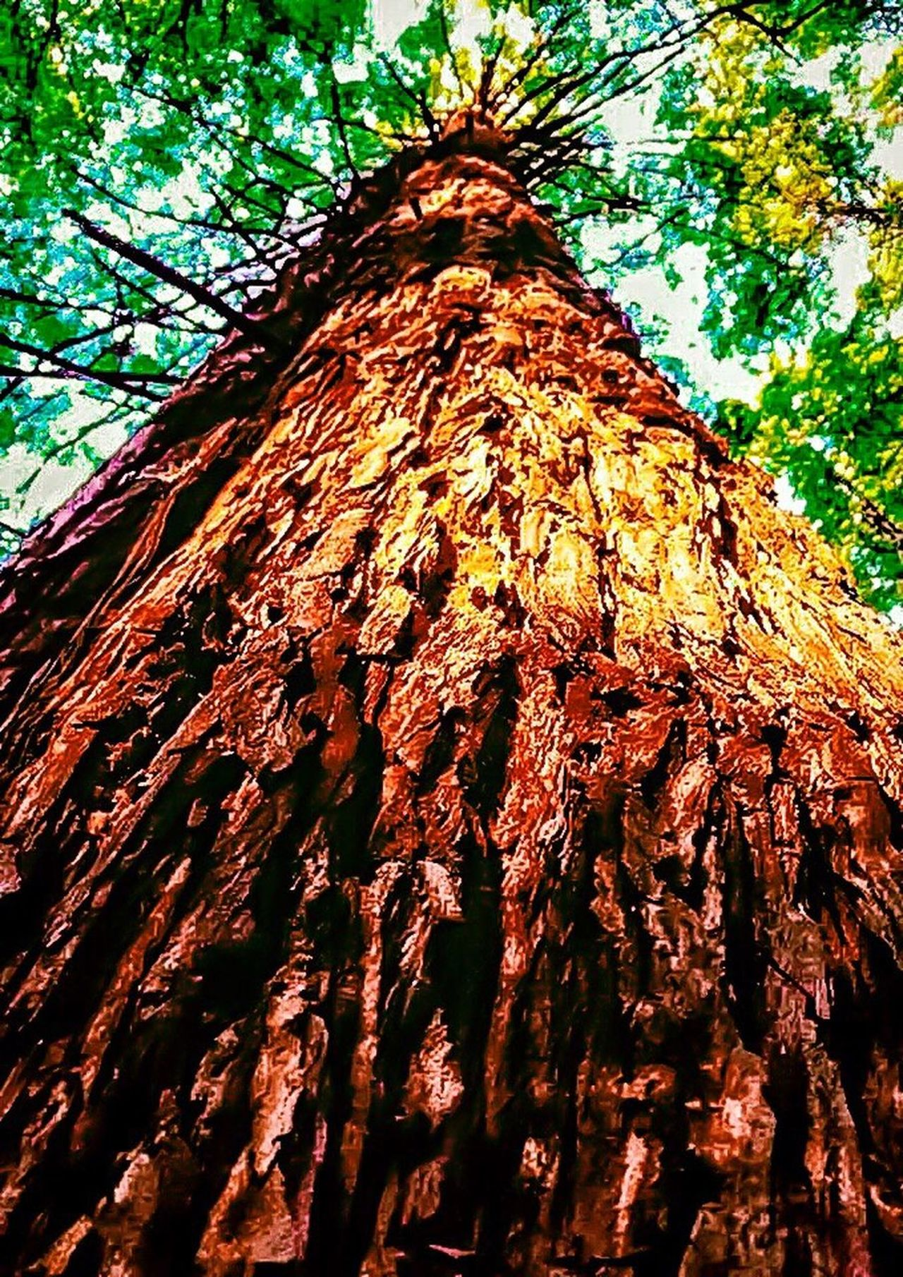 Nature's Diversities Truly Diverse Meet The California Redwood Tree The MightY Sequoia Ancient Earths Oldest Living Organism Old Growth Almost Extinct My Homeland The Innovator EyeEm Best Shots TreePorn Standing Beneath Looking Up Dwindling Forest Save The Redwoods!! Not A Renewable Resource Reforestation =tree Farms, Not Forests!