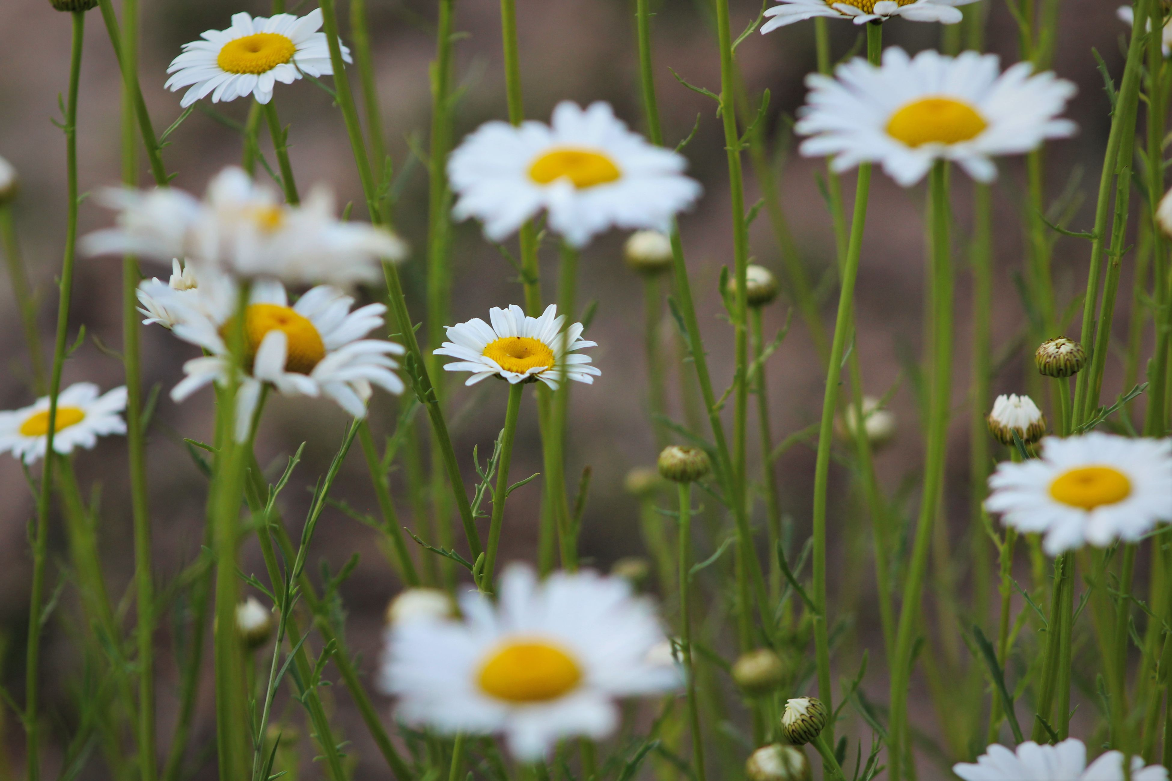flower, growth, nature, petal, freshness, blooming, beauty in nature, plant, daisy, fragility, yellow, white color, flower head, summer, field, uncultivated, spring, no people, outdoors, grass, day, close-up