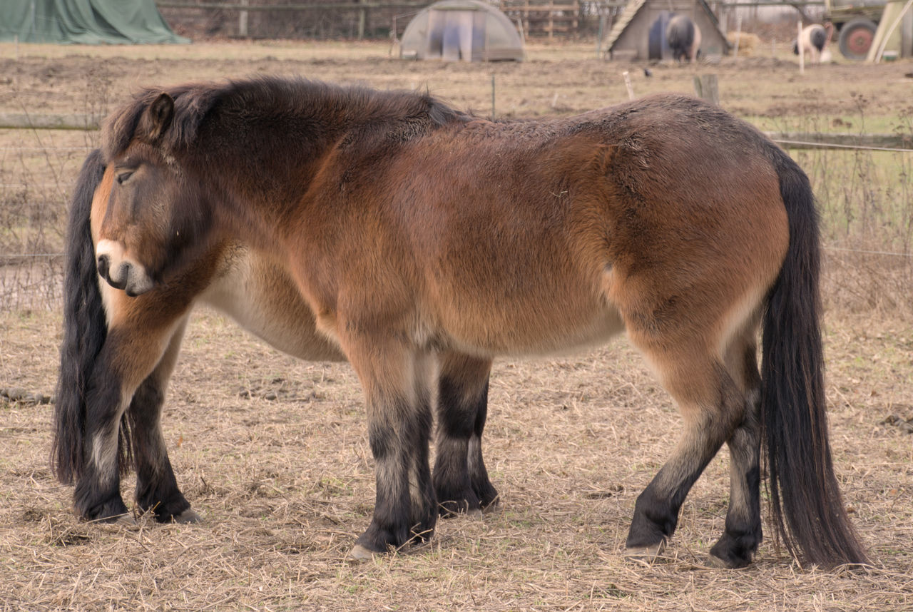 domestic animals, horse, animal themes, livestock, mammal, field, day, no people, standing, outdoors, foal, grazing, grass, nature