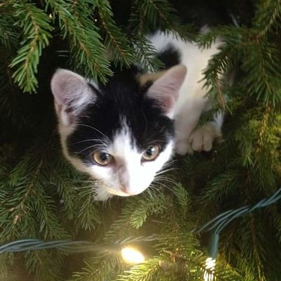 Cute Pets Animal Themes Christmas Close-up Cute Day Domestic Animals Domestic Cat Feline Indoors  Kitten Looking At Camera Mammal No People One Animal Pets Portrait Tree