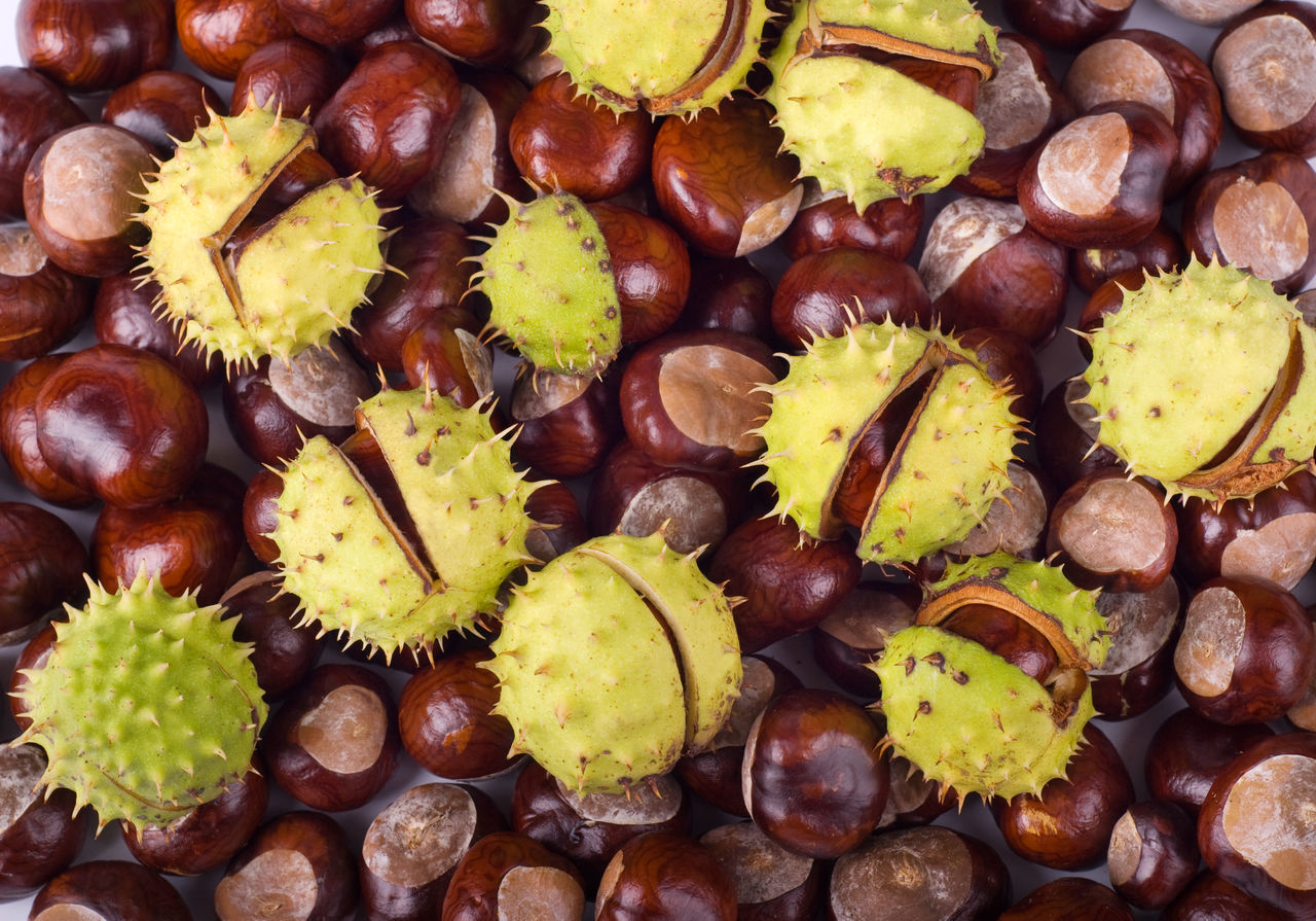 Autumn seasonal brown glossy conkers of horse-chestnut tree, fruits with green spiky open capsule, seeds of Aesculus hippocastanum tree, objects lying in horizontal orientation, nobody. Aesculus Aesculus Hippocastanum Autumn Buckeye Capsule Chestnut Chestnut Conker Conkers Horse Chestnut Large Group Of Objects No People Nut Open Prickle Prickly Seed Seeds Shell Spiked Spiky