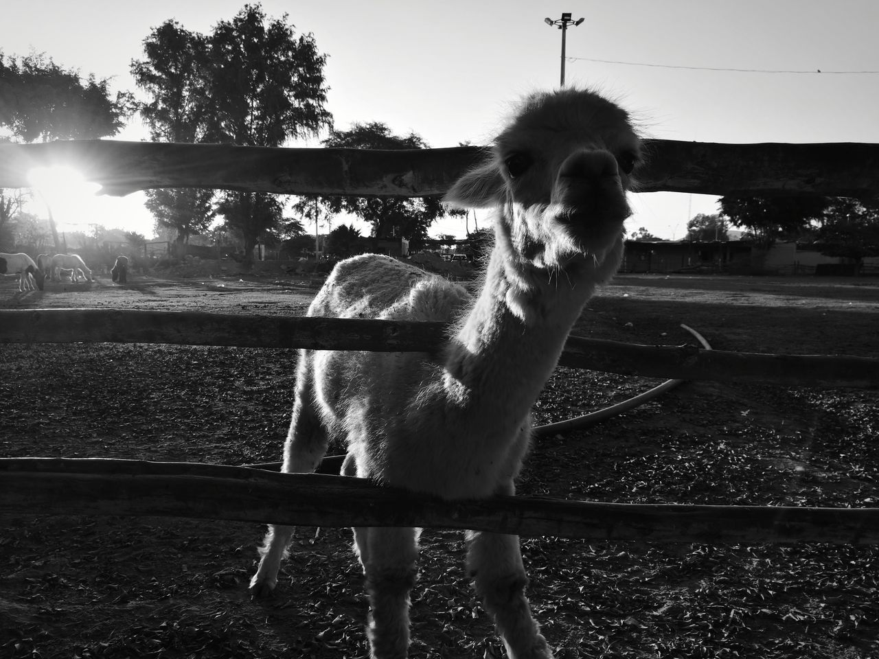 Curious lama Water One Person Leisure Activity Outdoors Sky Day Real People Lifestyles Adults Only Adult Spraying People Only Men Nature One Man Only Young Adult One Animal Rural Scene Fresh 3 Leica Huawei P9 Eye4photography  EyeEm Best Shots Animal Llama❤ Lamaphotography