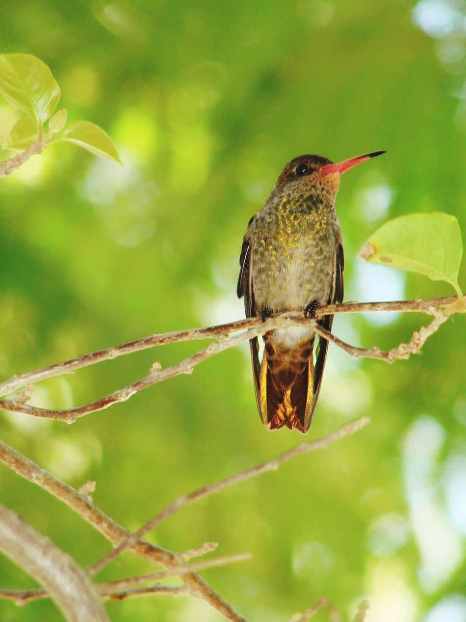 Beija-Flor. Hummingbird One Animal Animal Wildlife Bird Animals In The Wild Focus On Foreground Animal Themes Day Nature No People Branch Perching Outdoors Full Length Close-up Beauty In Nature