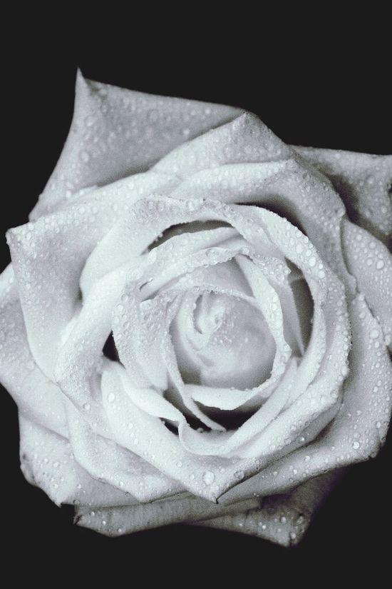 Красота цветка не в мишуре, а в изящности бутона 🌹 белая роза