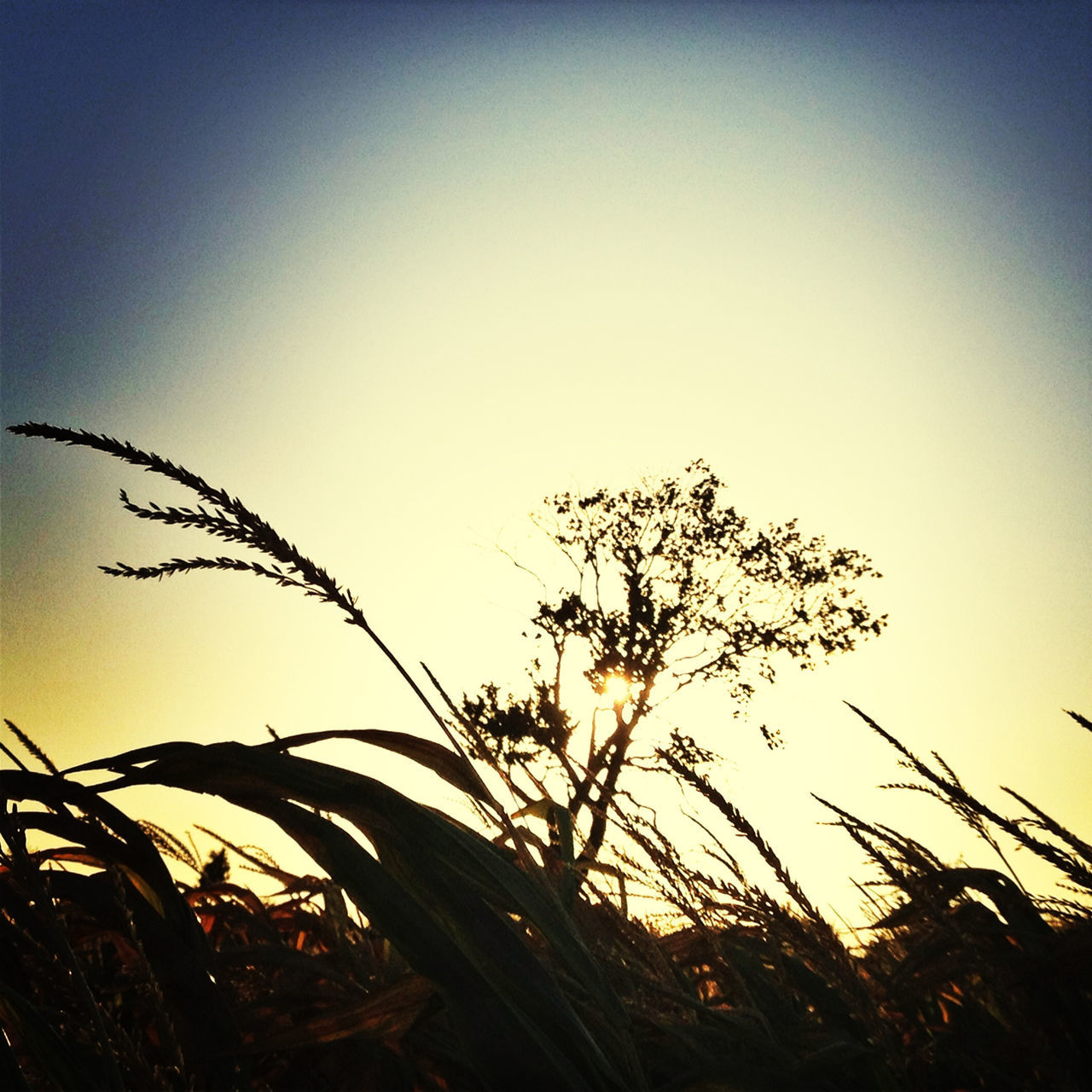 growth, nature, plant, sunset, clear sky, outdoors, no people, sky, beauty in nature, rural scene, grass, day, close-up