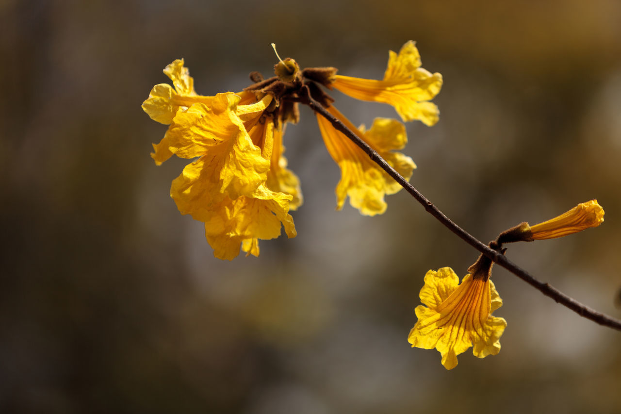 Yellow flowers on a golden trumpet tree called Tabebuia Chrysotricha Animal Wildlife Beauty In Nature Close-up Day Flower Flower Head Fragility Freshness Golden Trumpet Golden Trumpet Tree Insect Leaf Nature No People Outdoors Plant Pollen Tabebuia Chrysotricha Yellow Yellow Flower