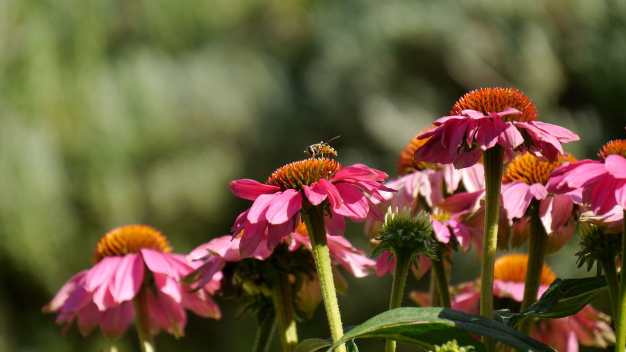 Summer flowers in pink - echinacea Flower Beauty In Nature Plant Pollen Nature Flower Head Close-up Animal Wildlife No People Fragility Insect Freshness EyeEm Gallery Eyem Gallery Biology High Section Sonnenhut Echinacea Purpurea Abandance Green Background Fly Schwebefliege