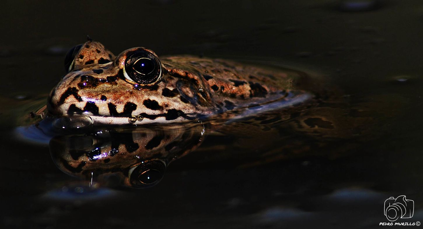 NikonD60 Nature Photography Martorell Catalunya Nikonphotographer Nikonespaña Nature Photograhy Nikonphotograhy Nature Eyem Nature Lover Beauty In Nature Naturephotography Frog Frogs Ranas❤ Ranas🐸 Rana Animal Wildlife Animals In The Wild Nature Reptile Water Looking At Camera Animal Themes Animals In The Wild