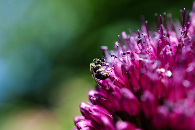 Flying ant on an allium flower... Microcosm Nature Photography Growth Flower Head Freshness Close-up Macro Insects Macro_collection Macro Outdoors Nature_collection One Animal Animal Themes Insects  Nature Insect Beauty In Nature Flowers_collection Plant Purple Flying Ant Ant Allium Allium Flower Colour Of Life