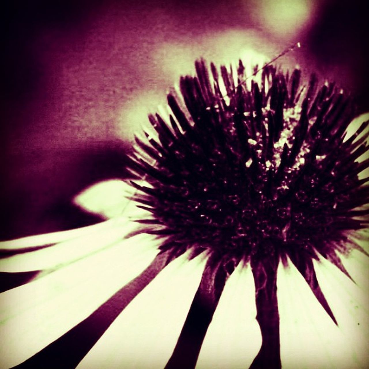flower, fragility, growth, close-up, flower head, beauty in nature, nature, petal, freshness, coneflower, no people, day, outdoors, eastern purple coneflower