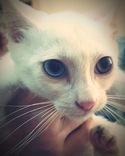 Blue Eye Brown Eye 2-coloured Eye White Cat White Fur Pets Animal Domestic Cat Domestic Animals Mammal Care Cute One Animal Adult Friendship Love Young Animal Happiness Feline Vet  People Indoors  Portrait Animal Themes
