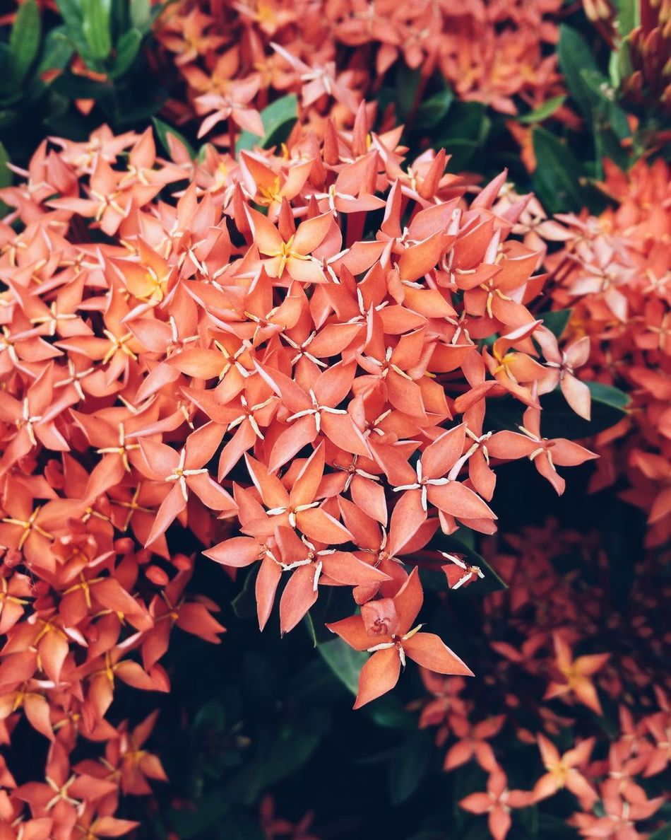 Coral By Motorola beautiful x-shaped flowers Flowers Beautiful Nature Coral Creativethailand EyeEm Best Shots Vscocam Simple Life Bangkok Samsung Galaxy S5 Pattern Pieces Flowerporn Corals Star Shape Bush Thailand Nature_collection