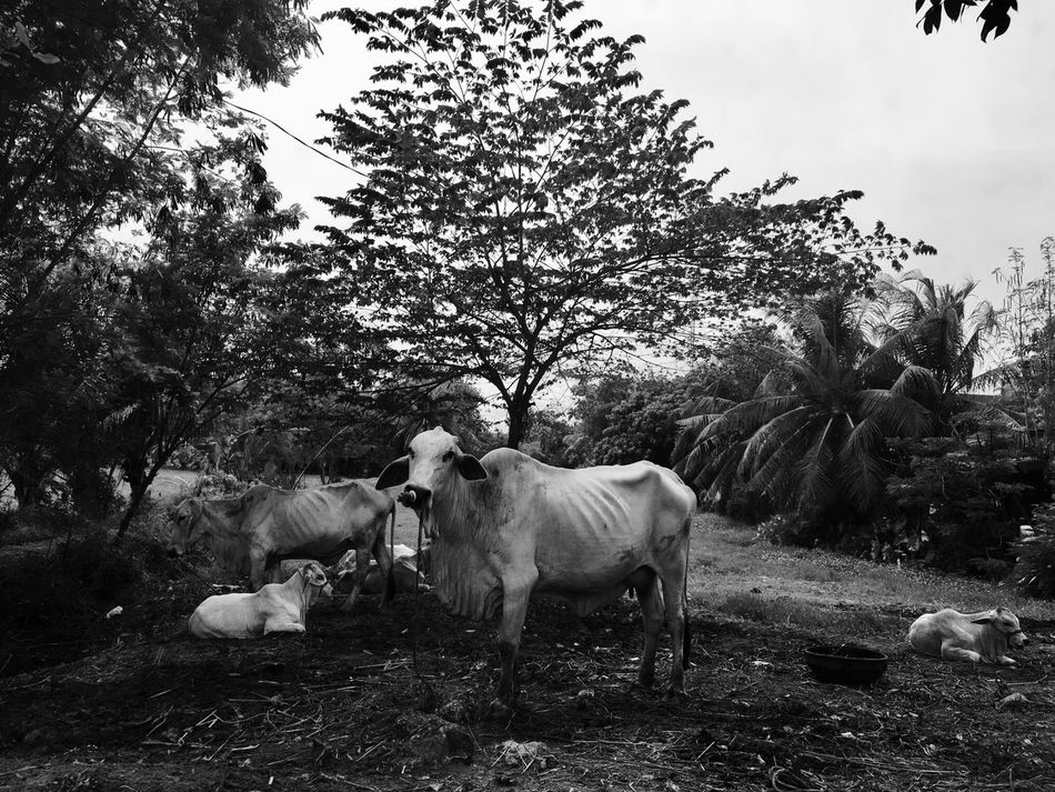 Cow Monochrome Mono Cebu City Cebu Province Countryside Country Life Herd Animal Herd Of Cows Philippines