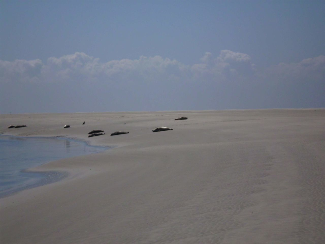 Borkum , Germany 2010 Summer Beach Sandbank Group Of Seal Sunbathing Sand Outdoors Landscape Beach Sky No People Day Tranquility Nature Sea Scenics Low Tide Horizon Over Water Beauty In Nature Animal Themes